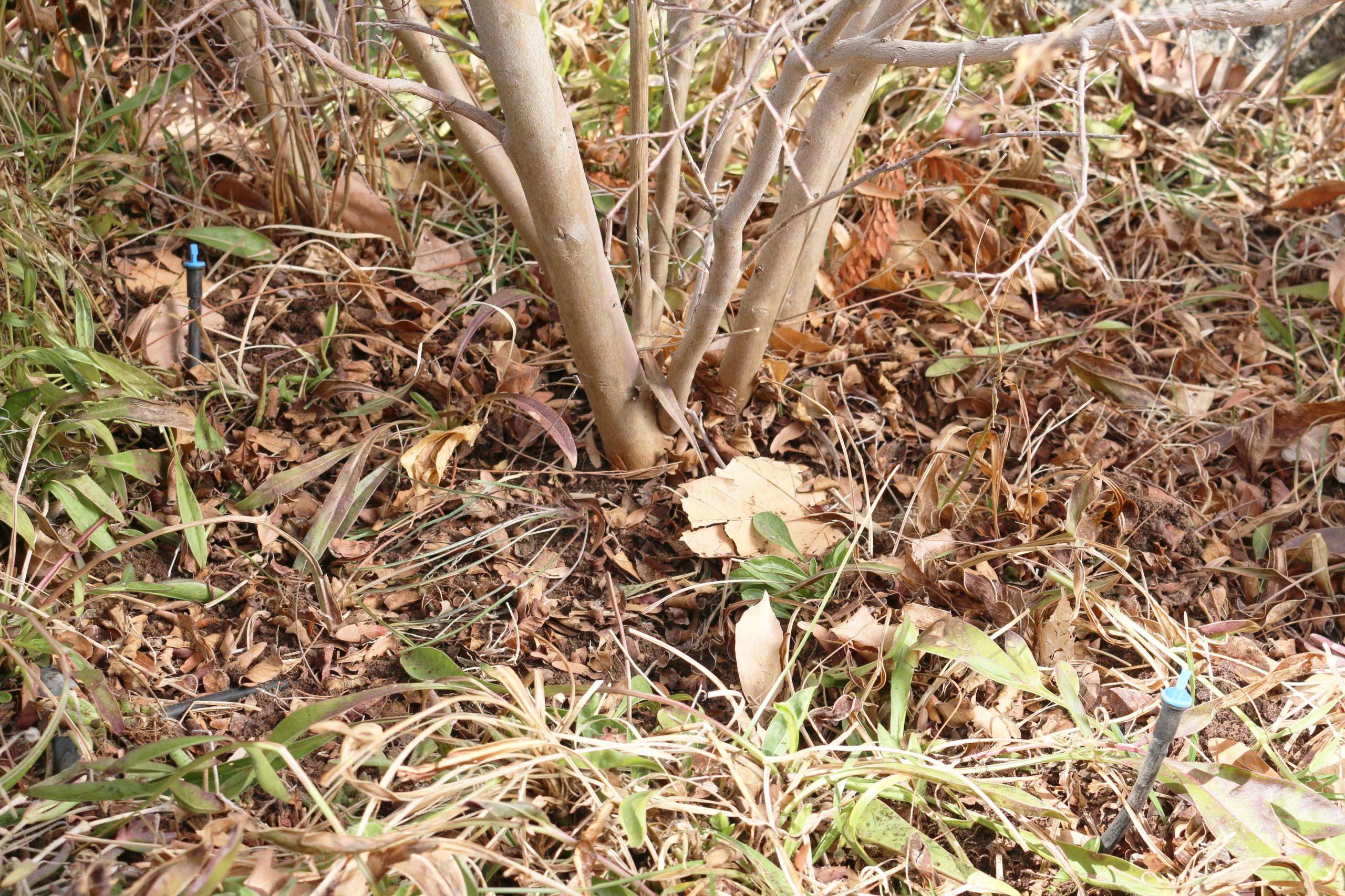 Drip to shrubs