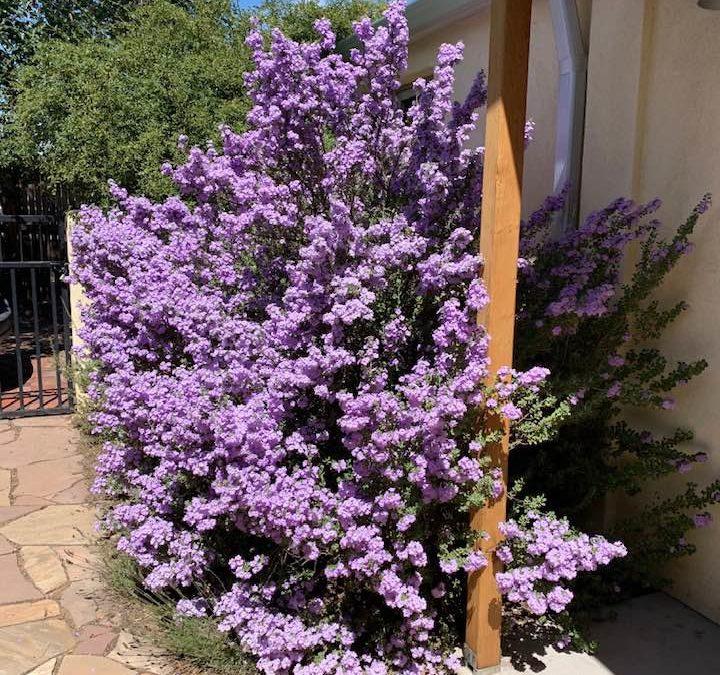 Leucophyllum langmaniae 'Lynn's Legacy' Texas Sage