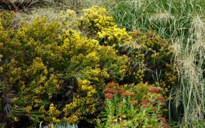 Ericamerica larcifolia, Turpentine Bush